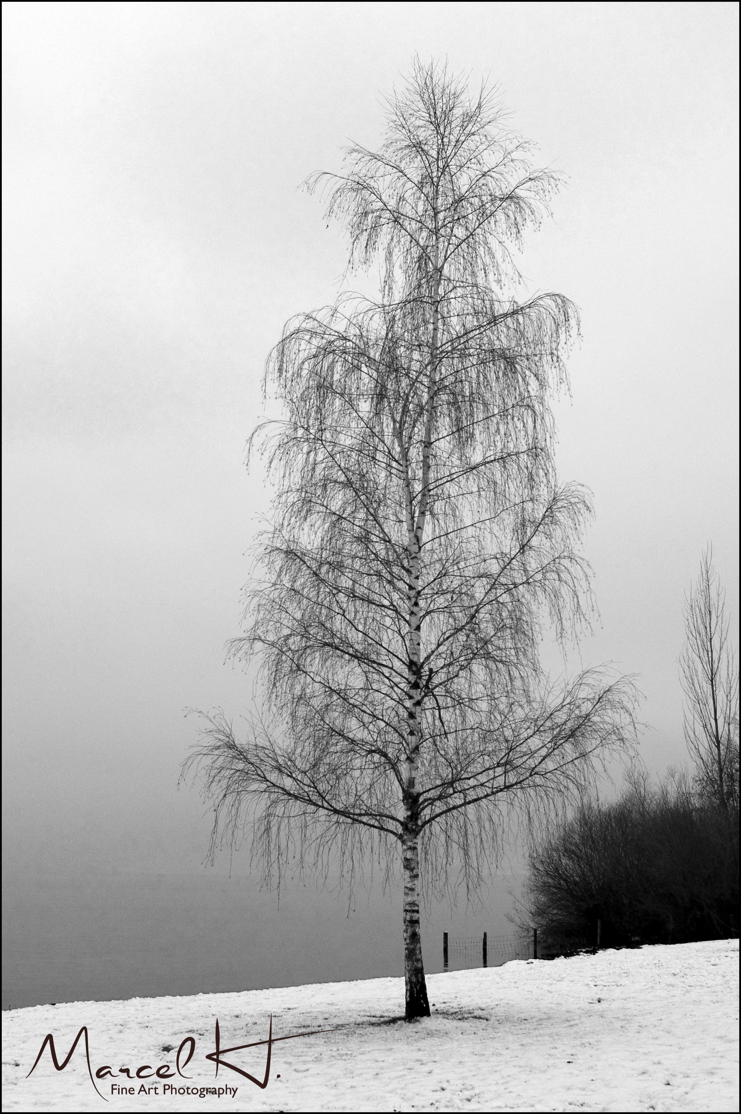 Nebel_Birke