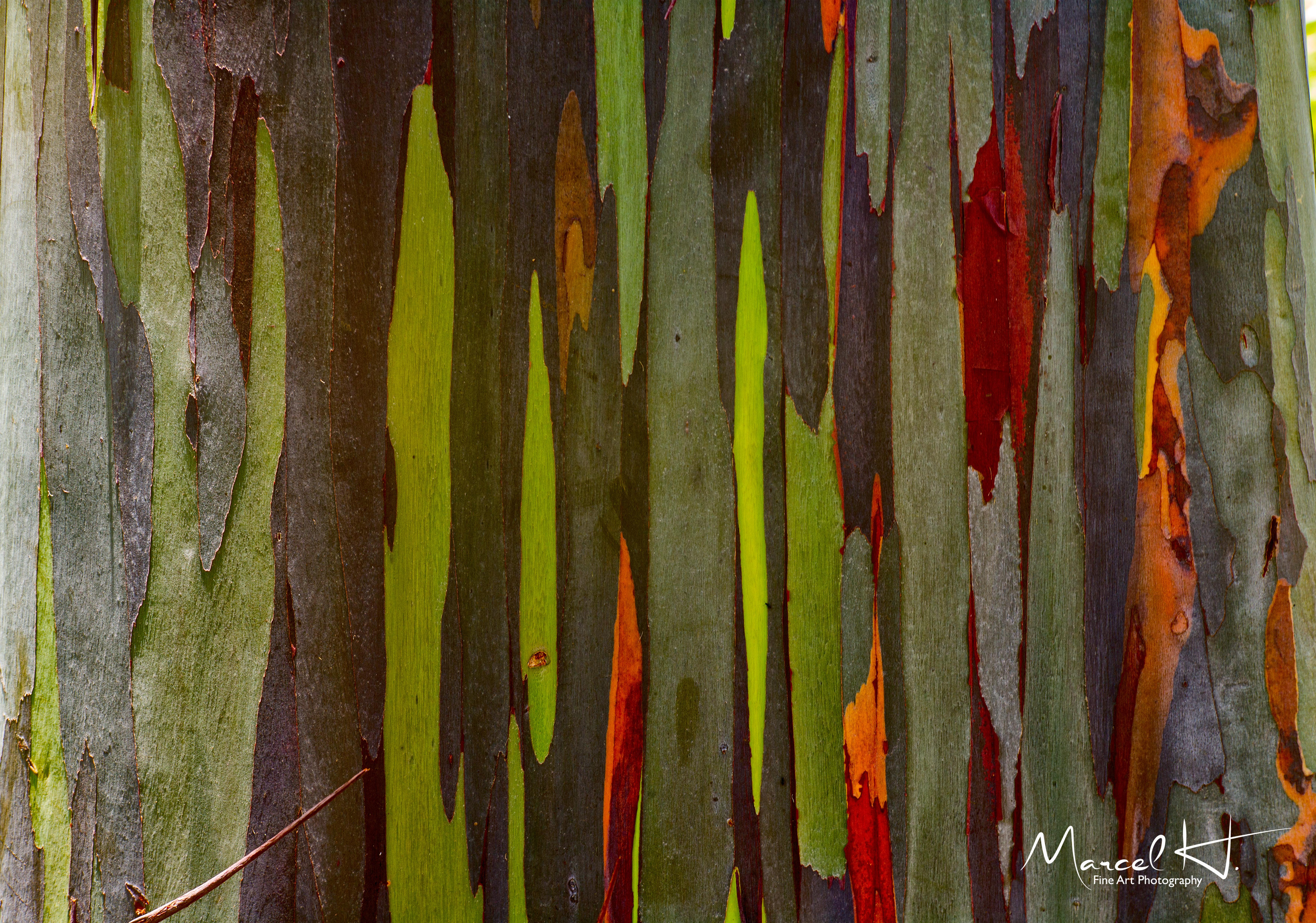 Rainbow_Eucalyptus_A2